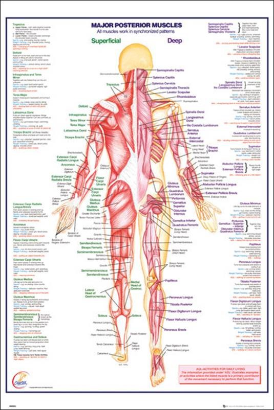 SPC083 - Body - Prosterior Muscles